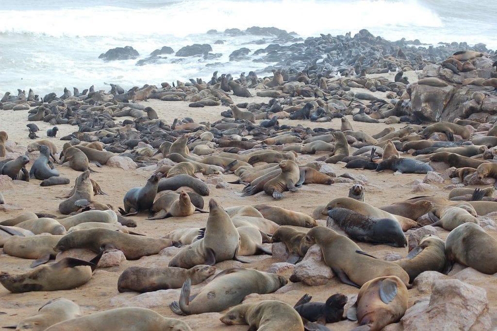 Cape Fur Seals - Skeleton Coast